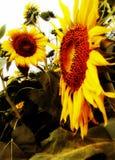 Sonnenblume, Sonnenblumen, Blume Lizenzfreies Stockbild