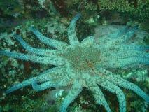 Sonnenblume Starfish Stockfotografie