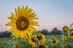 Sonnenblume steht heraus auf dem Gebiet am frühen Morgen Lizenzfreies Stockbild