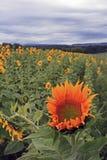 Sonnenblume steht heraus unter der Masse Stockfotografie