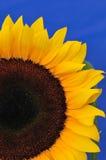 Sonnenblume-Studio-Serie 11 Stockbild