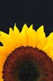 Sonnenblume-Studio-Serie 19 Stockbild
