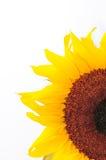 Sonnenblume-Studio-Serie 27 Stockbild
