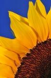Sonnenblume-Studio-Serie 5 Stockfotografie