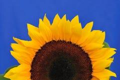 Sonnenblume-Studio-Serie 7 Stockbilder