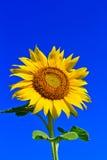 Sonnenblume in Thailand lizenzfreie stockfotografie