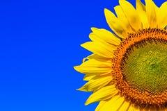 Sonnenblume in Thailand lizenzfreie stockfotos