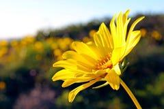 Sonnenblume, Torrey Pines State Park, La Jolla Lizenzfreie Stockfotos