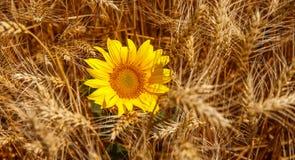 Sonnenblume u. Korn, mit dem Reichtum der Erde lizenzfreie stockfotografie