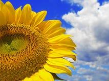 Sonnenblume und bewölkter Himmel Stockbild