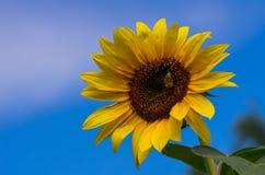 Sonnenblume und Biene Stockfotografie