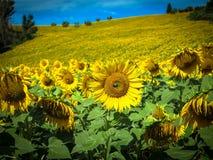 Sonnenblume und Biene Stockfotos
