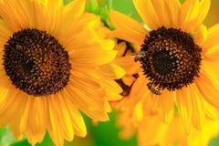 Sonnenblume und Biene lizenzfreie stockbilder