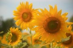 Sonnenblume und Biene Stockbilder