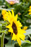 Sonnenblume und Biene, Hong Kong Flower Show 2015 Lizenzfreies Stockfoto
