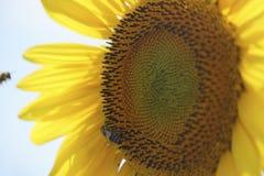 Sonnenblume und Bienen Stockfotografie