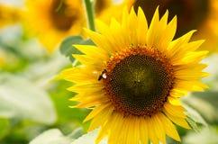 Sonnenblume und Bienen Lizenzfreies Stockbild