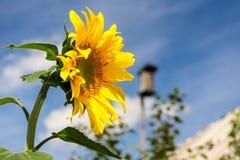 Sonnenblume und blauer Himmel lizenzfreies stockbild