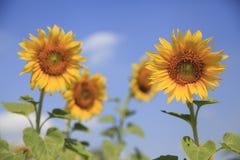 Sonnenblume und blauer Himmel Stockfotografie