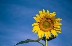 Sonnenblume und blauer Himmel Stockbild
