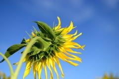 Sonnenblume und blauer Himmel Stockbilder