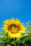 Sonnenblume und blauer Himmel Stockfoto