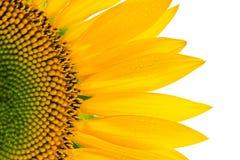 Sonnenblume und Blumenblätter lokalisiert auf Weiß stockbilder