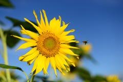 Sonnenblume und eine kleine Biene Lizenzfreies Stockfoto