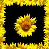 Sonnenblume und Feld auf Schwarzem Lizenzfreies Stockfoto
