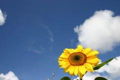 Sonnenblume und Himmel Stockfotos