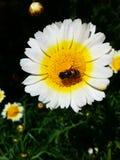 Sonnenblume und Honigbiene stockfotos