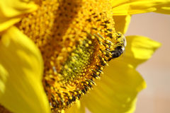 Sonnenblume und Hummel Stockfotografie
