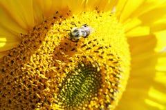 Sonnenblume und Hummel Lizenzfreie Stockbilder
