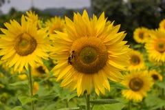 Sonnenblume und Insekten Lizenzfreie Stockfotos