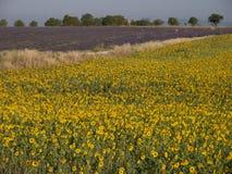 Sonnenblume und Lavendel in einem Gewann lizenzfreie stockfotografie