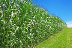 Sonnenblume- und Maisfelder lizenzfreies stockfoto