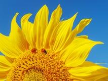 Sonnenblume und Marienkäfer. Stockfotos