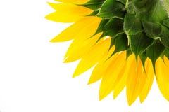 Sonnenblume und nasse Blumenblätter lokalisiert auf Weiß lizenzfreie stockfotografie