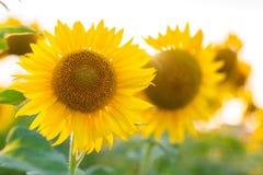 Sonnenblume und Sonne Lizenzfreies Stockfoto