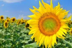Sonnenblume und Sonnenblumenfeld Stockfotografie