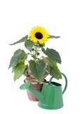 Sonnenblume- und Wasserdose stockfotografie