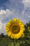 Sonnenblume und Wolken Lizenzfreies Stockfoto