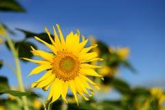Sonnenblume, unscharfer Hintergrund Stockbild
