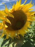 Sonnenblume unter vielen Lizenzfreie Stockfotos