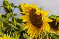 Sonnenblume unter vielen Stockfoto