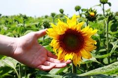 Sonnenblume verwöhnt durch junge Jungenhand Stockbild