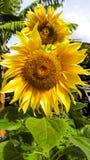 Sonnenblume vom Garten von Igueste de San Andrés, auf der Insel von Teneriffa stockbild