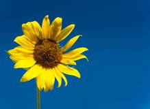 Sonnenblume vor blauem Himmel Lizenzfreies Stockfoto