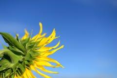 Sonnenblume, Vordergrund Lizenzfreies Stockfoto