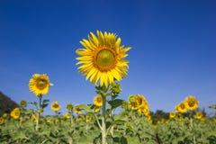 Sonnenblume, welche die Sonne, helle gelbe Sonnenblume gegenüberstellt Lizenzfreie Stockbilder